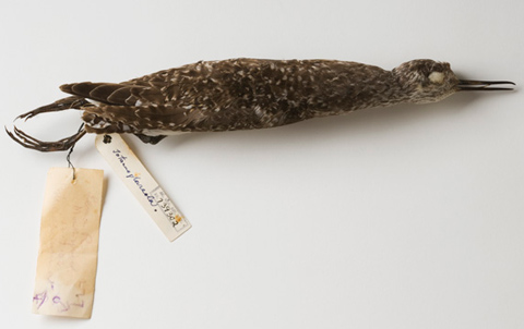 A prepared bird skin specimen. The bird is a mottled brown and grey colour with a thin black beak. It has two paper labels tied to its legs.