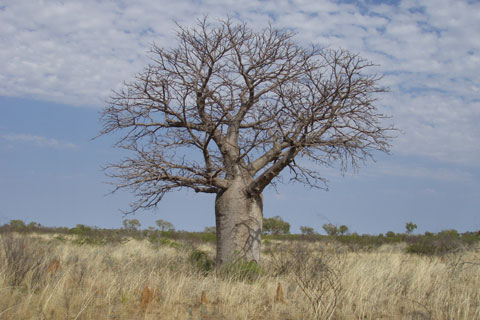 A boab tree surrounded by grassy scrubland