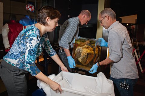 Installing Phar Lap's heart in the Landmarks gallery.
