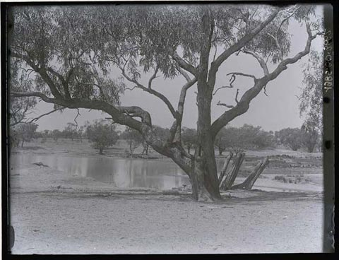 Herbert Basedow's photo of a tree beside Cooper Creek in 1919. Timber can be seen jutting diagonally out of the bank just behind and to the left of the tree.