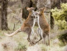 Two wallabies fighting