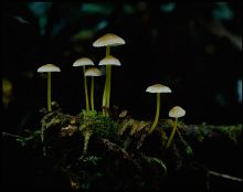 Colour photograph showing a close-up view of seven small fungi, growing from a mossy base.