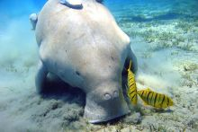 Colour photograph of a dugong grazing on sea grass. Several small fish are also visible.