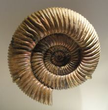 Colour photograph of a fossilised ribbed, spiralled shell.
