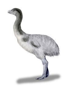 Colour illustration of a large emu-like bird with thick legs and white-grey feathers.
