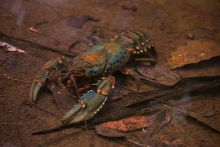 Colour photograph showing a crayfish with two large claws, in shallow water.