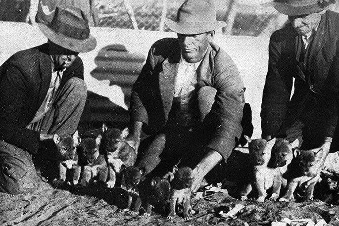 Black and white photograph of three men with coats and hats on kneeling down with two littlers of dingoes in front of them