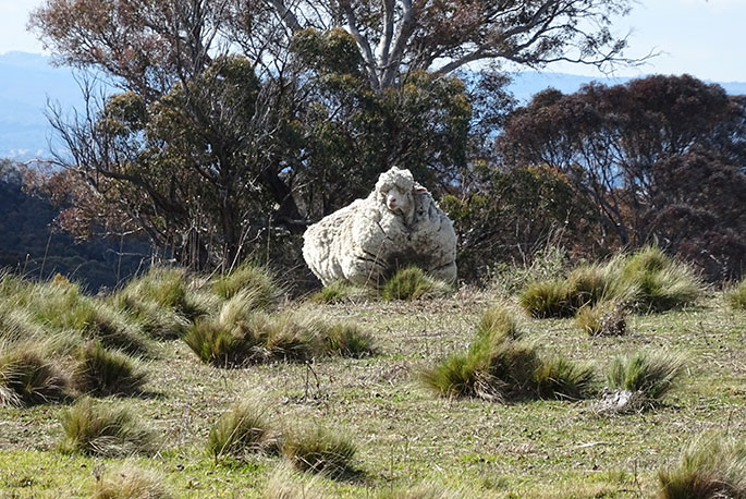 A sheep with a very thick fleece stands on a grassed hill, with gum trees behind.