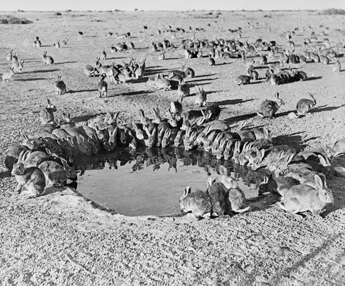 A black and white photo of rabbits drinking from a waterhole