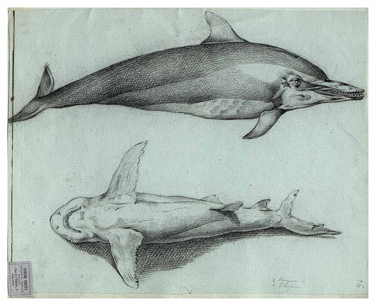 Charcoal and pencil drawing of dolphin profile and shark ventral fin by Louis Lebrun or Jacques-Gerard Milbert in book. - click to view larger image