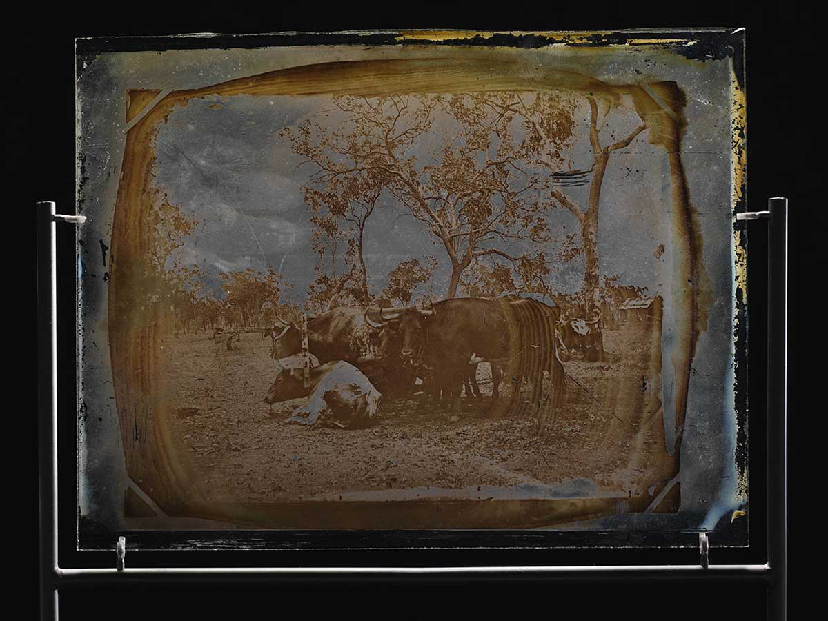Glass plate showing a team of bullocks. - click to view larger image