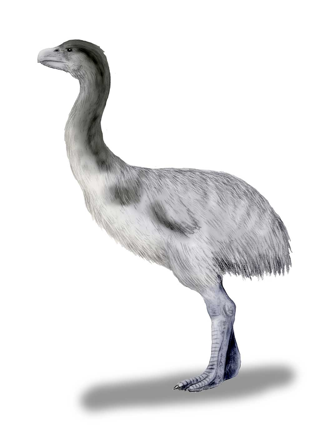 Colour illustration of a large emu-like bird with thick legs and white-grey feathers. - click to view larger image