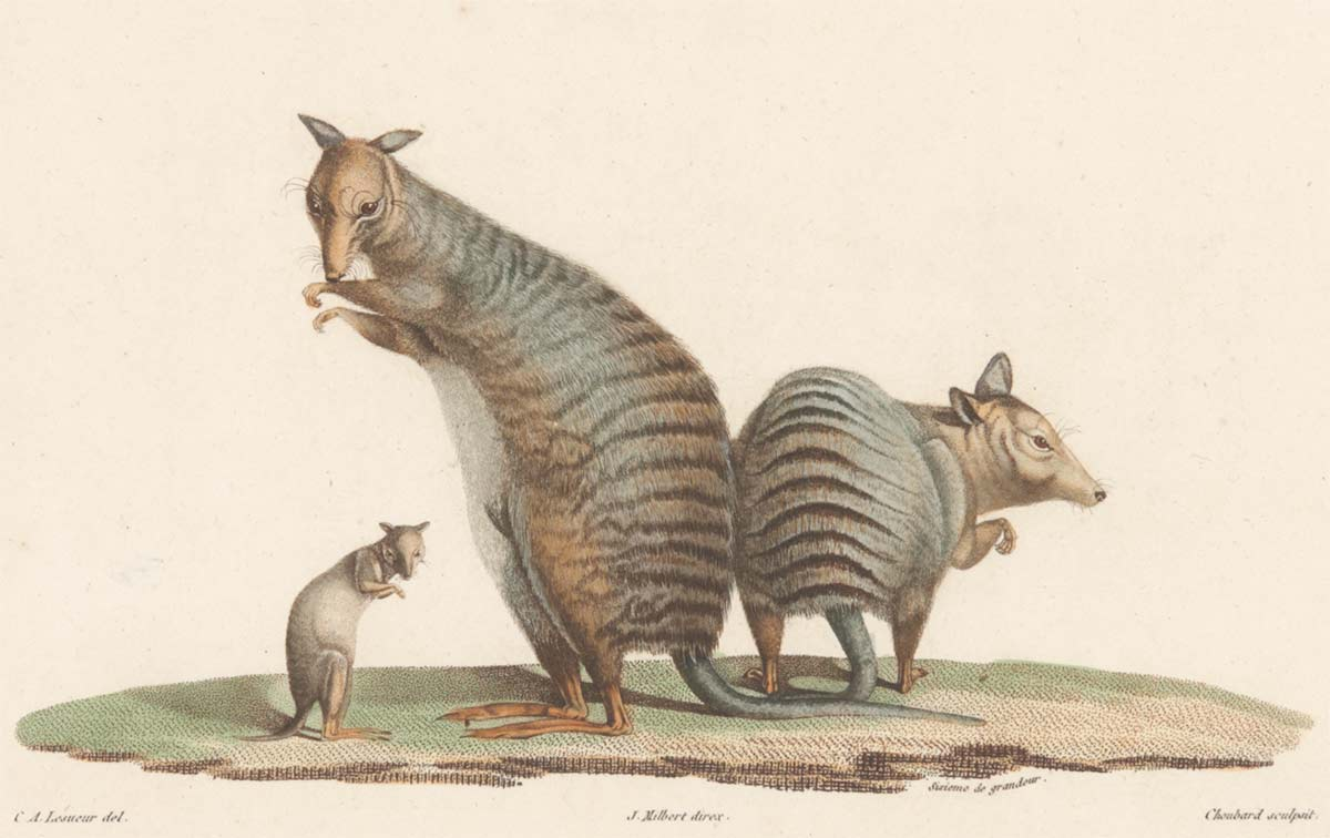Three kangaroos standing on their hind legs; two larger specimens with striped fur and a juvenile with pale brown fur. - click to view larger image