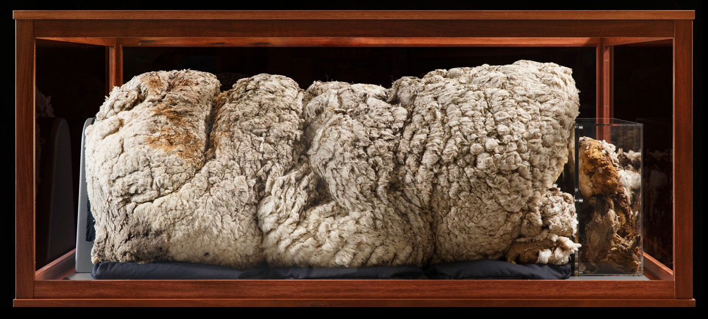 A sheep's off-white fleece on display inside a timber framed, glass case. - click to view larger image