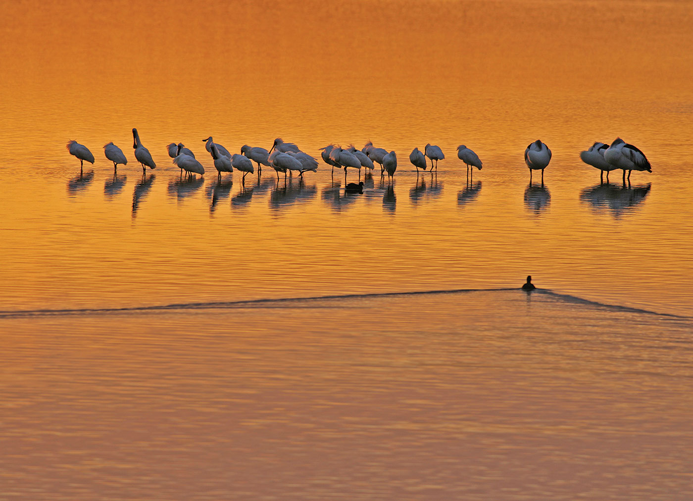 A group of birds stand in shallow water.