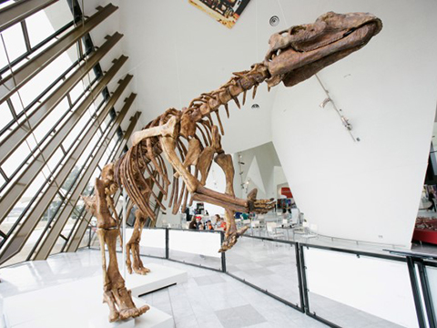 A replica of a muttaburrasaurus skeleton.