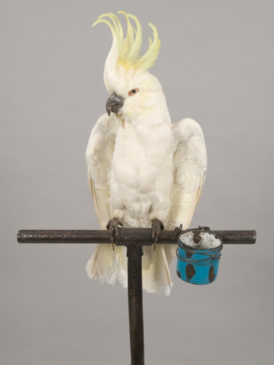 Sulphur crested cockatoo perched on a metal perch with a blue feeding bucket attached. - click to view larger image