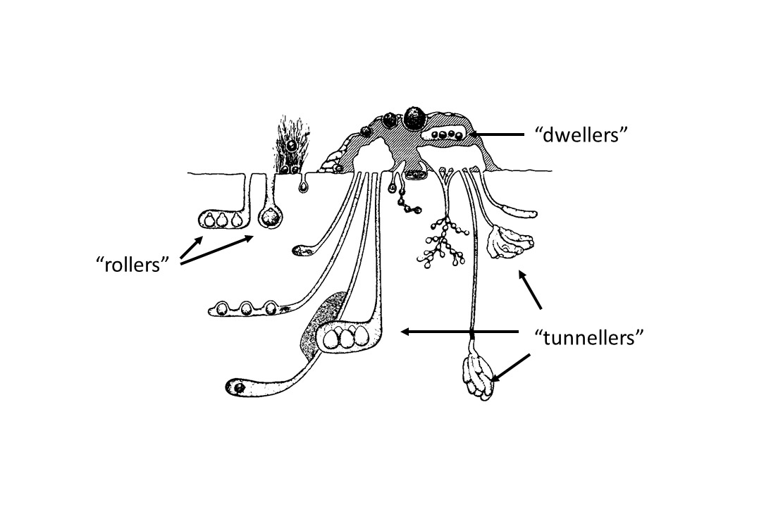 Diagram of a dung beetle nest with text 'rollers', dwellers' and 'tunnellers'.