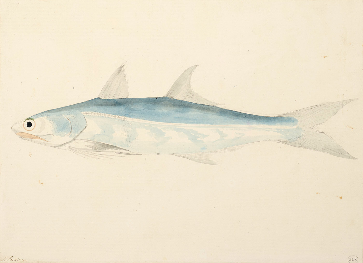 Drawing and watercolour of a fish with a long tapered body. - click to view larger image