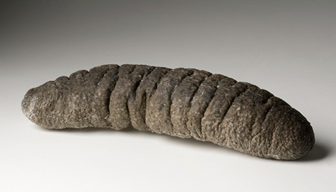 A trepang (or sea cucumber) specimen, greyish-brown in colour and roughly cylindrical in shape.