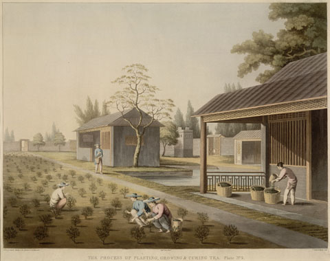 Painting of tea being planted, grown and cured in China.