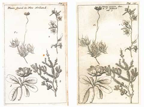 Copperplate engravings of Australian plants