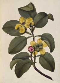 Watercolour of Dillenia alata