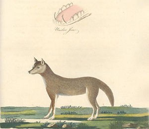 Coloured illustration of a dingo drawn in 1789