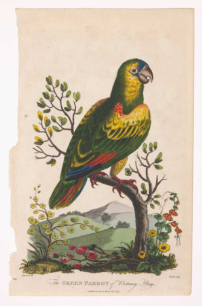 The Green Parrot of Botany Bay, engraving by Sydenham Edwards, 1797 was one of the Museum's acquisitions this year.