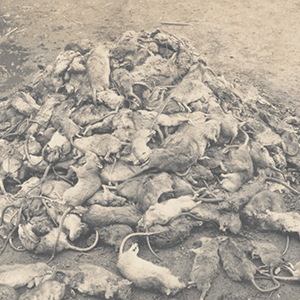 Mound of dead rats