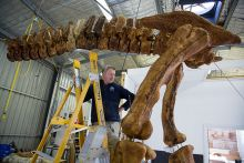 A man stands on a ladder, towered by a section of dinosaur vertebrae and other bones.