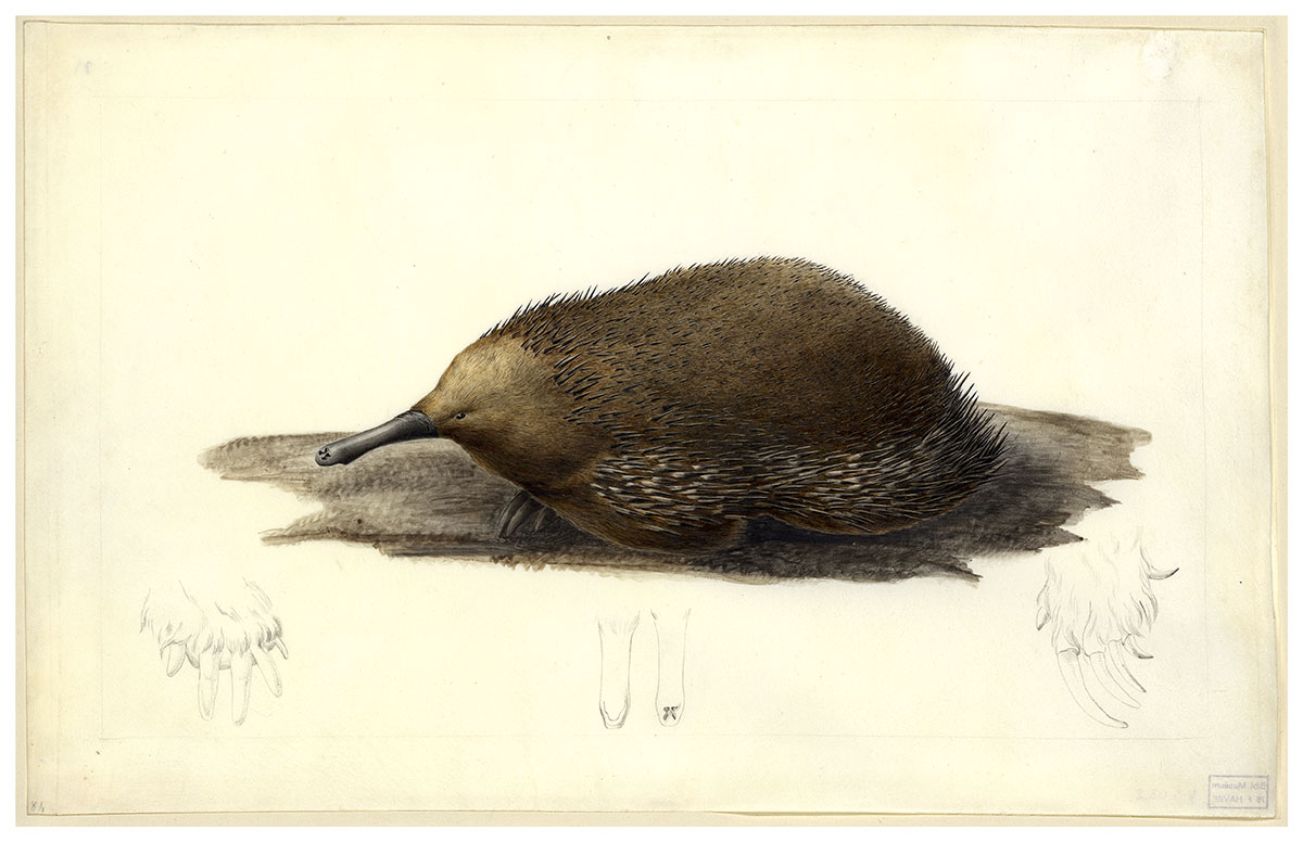 Echidna Tachyglossus aculeatus setosus by Charles-Alexandre Lesueur. Watercolou and pencil on vellum. - click to view larger image