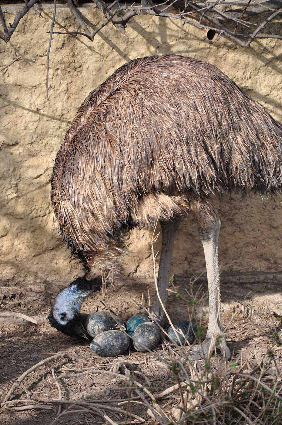 An emu with its eggs. - click to view larger image