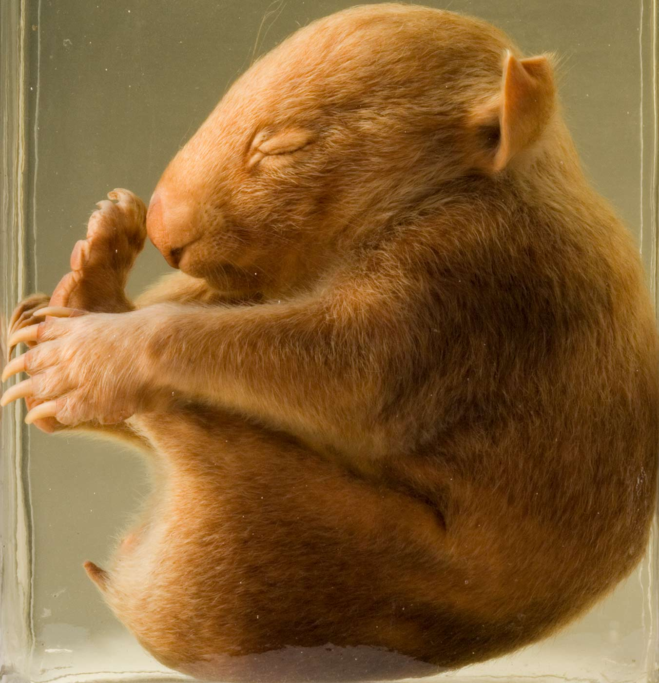 A young wombat preserved in liquid - click to view larger image