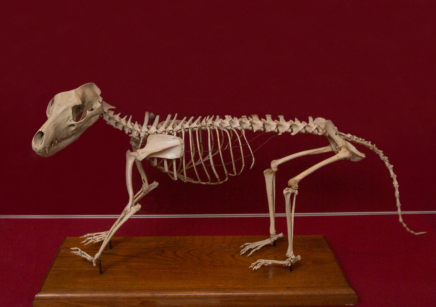 The skeleton of a small animal - click to view larger image