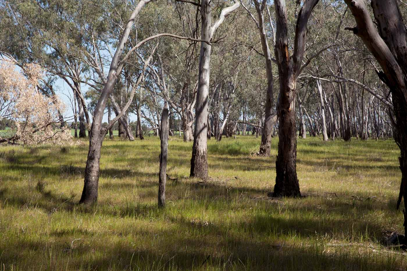 A grassed area with an abundance of gum trees.