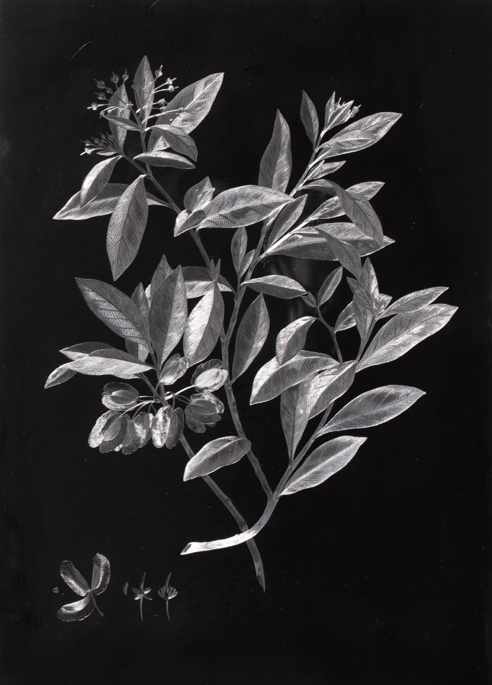A plant, in shades of grey, etched onto a black base plate. - click to view larger image