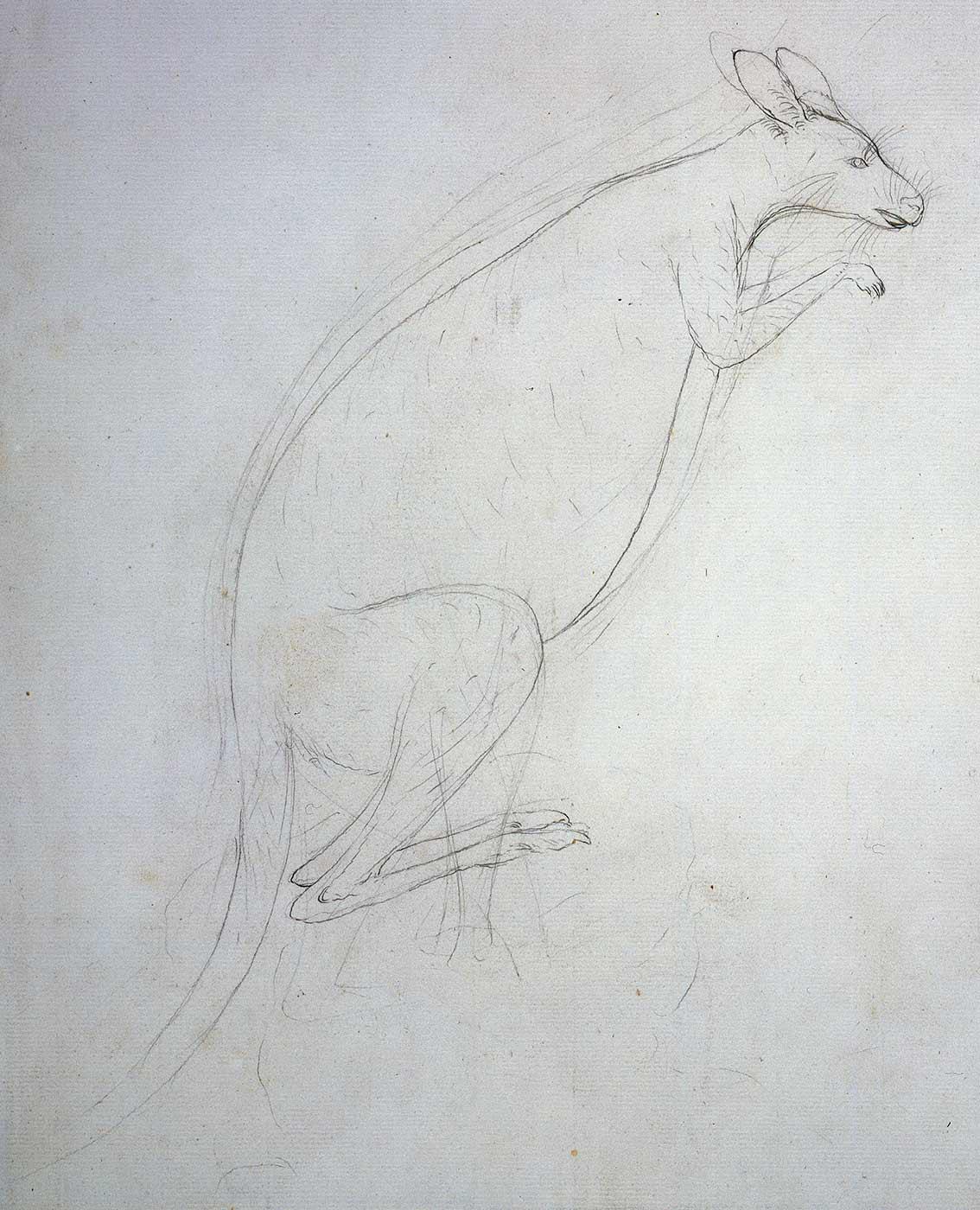 Sketch of a kangaroo. - click to view larger image