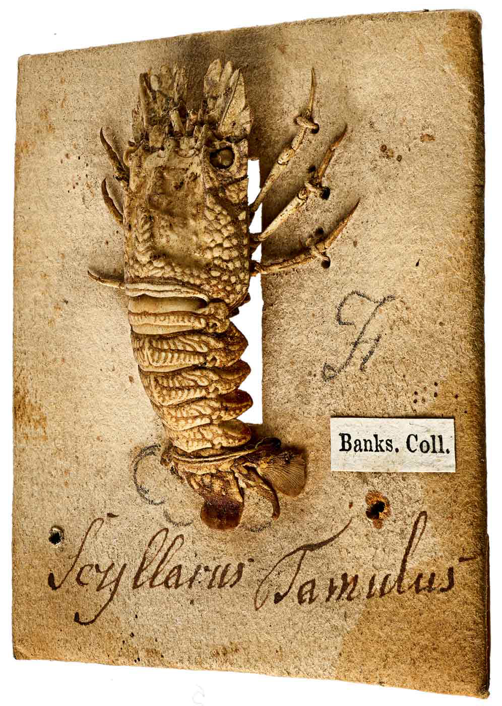 Image of a lobster specimen with a label that reads: 'Banks. Coll'. - click to view larger image