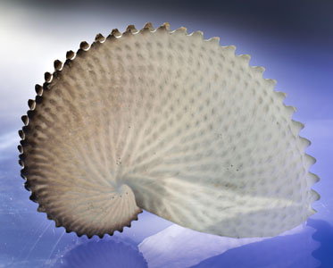 A cream coloured curved shell with a central spiral and raised nodules.