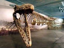 Colour photograph of a reconstructed fossilised marine repile, hanging from the ceiling.