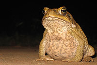 1935: Cane toads introduced into Australia to control pest beetles in Queensland's sugar cane crops