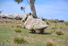 a photo of a very woolly sheep in a paddock