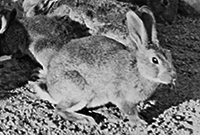 1859: Introduction of rabbits