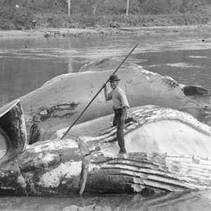 Two men with slaughtered whales on shoreline; one standing on one whale with harpoon spear in hand
