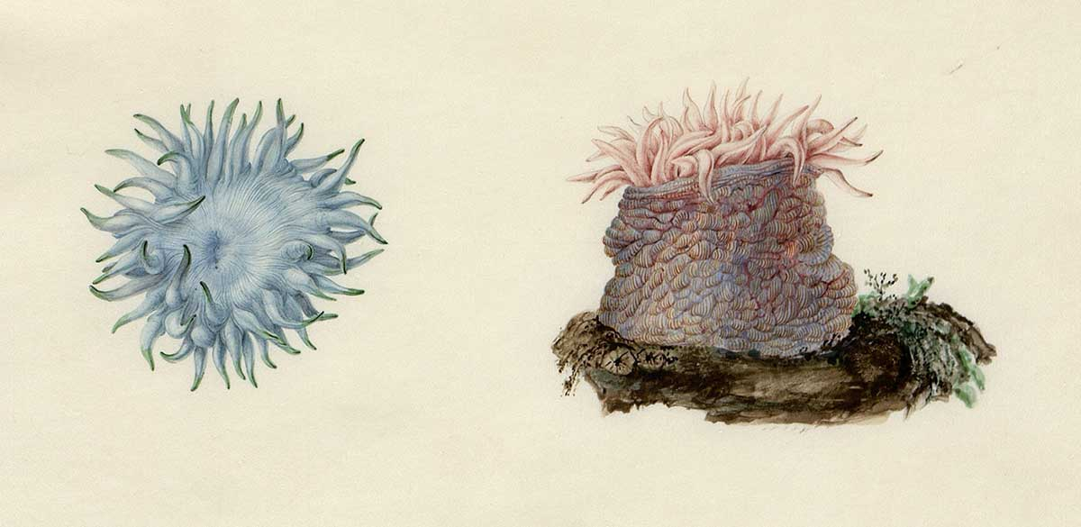 Ilustrations of two sea anemones.