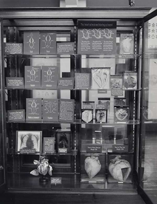 Black and white image showing Phar Lap's heart on show as part of an Institute of Anatomy display. - click to view larger image
