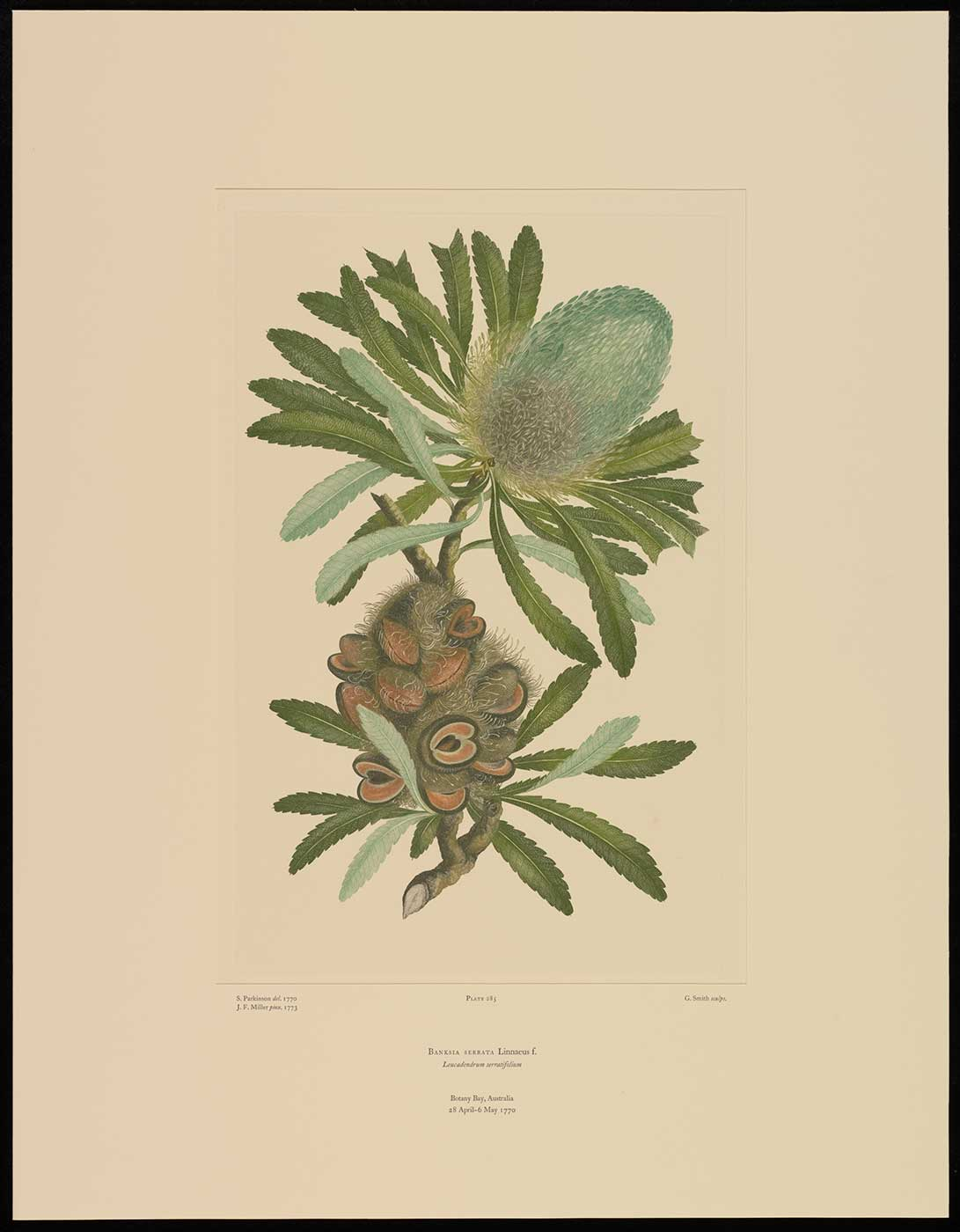 Colour illustration of a plant  with serrated leaves, cylindrical flower head and seed pod. - click to view larger image