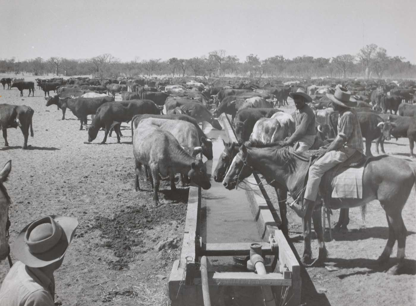 Black and white photograph showing two Aboriginal stockmen on horses. The horses drink from a long water trough, where many cattle are also drinking and milling about. - click to view larger image