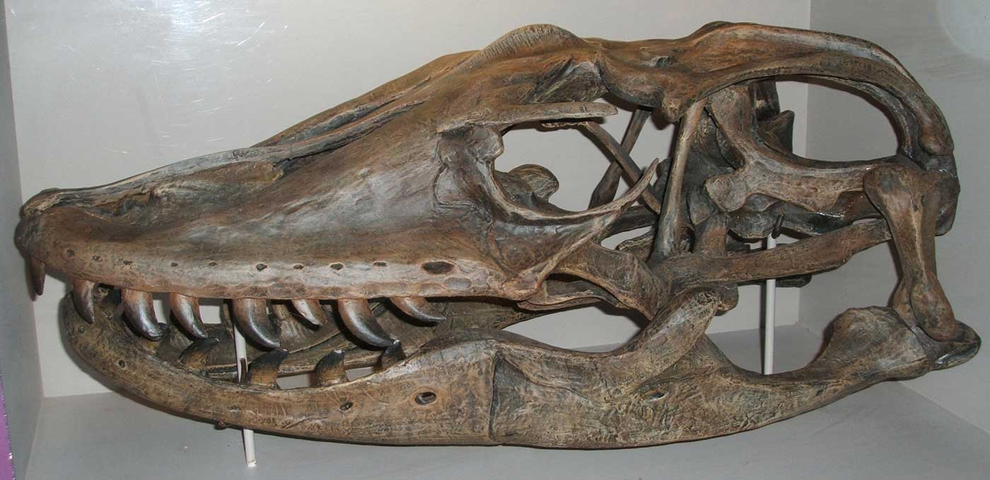 Cast of a skull from a large terrestrial lizard. - click to view larger image